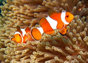 Diving Sulawesi Indonesia - Clown Fish