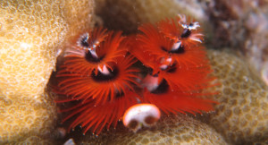 Christmas Tree Worm in Sulawesi