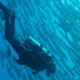 Diving Sulawesi Barracudas With Diver
