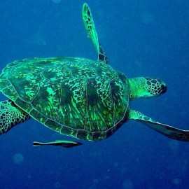 Hawksbill Turtle Una Una Indonesia