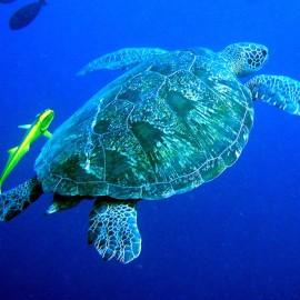 Una Una Underwater Hawksbill Turtle