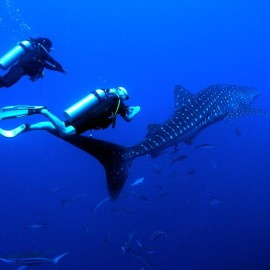 Whale Shark At Una Una Dive Site