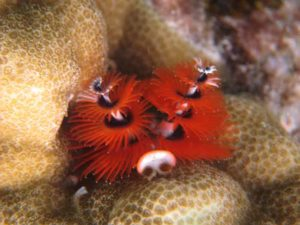 Coral Rehab Indonesia Christmas Tree Worm