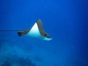 Diving Indonesia Eagle Ray Una Una